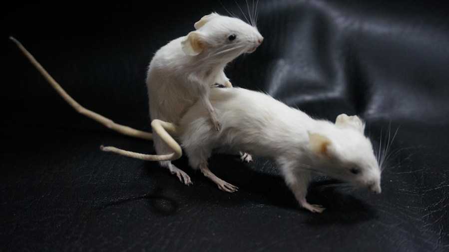 Taxidermy - one rat taking the other up the arse