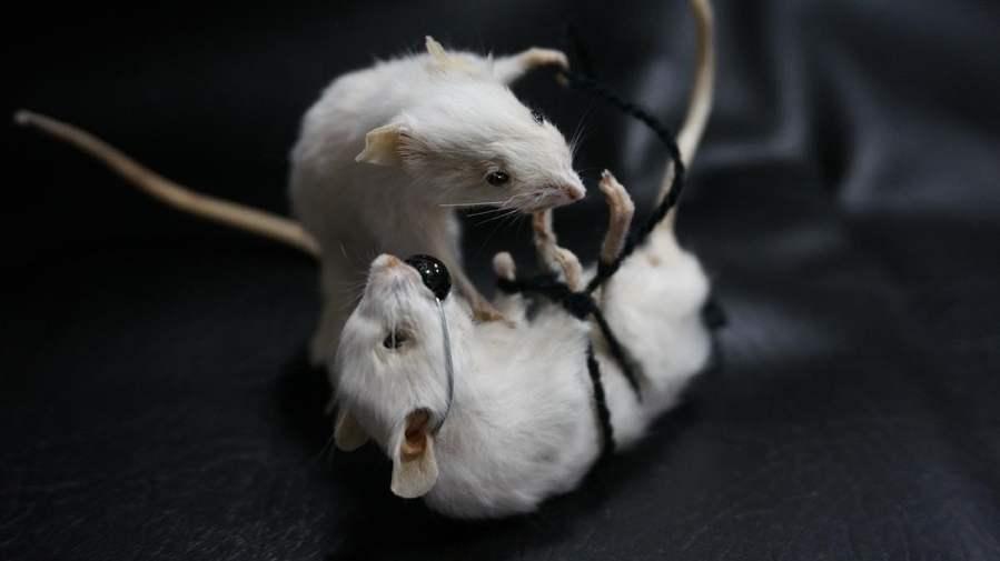 Taxidermy - rats and bondage