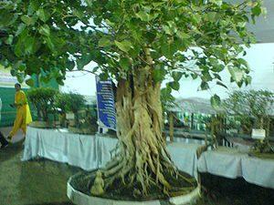 English: 150 year old bonsai tree at the Cochi...