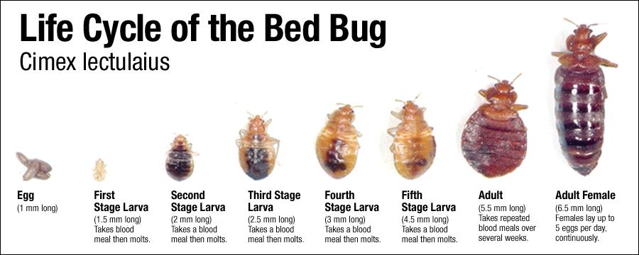 bed-bug-life-cycle