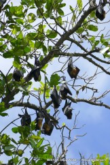 Samoa Flying Foxes