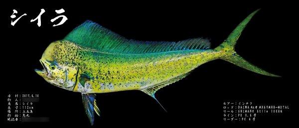 シイラ魚拓