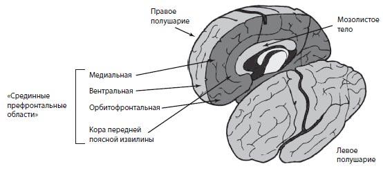 Главные центры головного мозга. Островковая доля Островок мозга