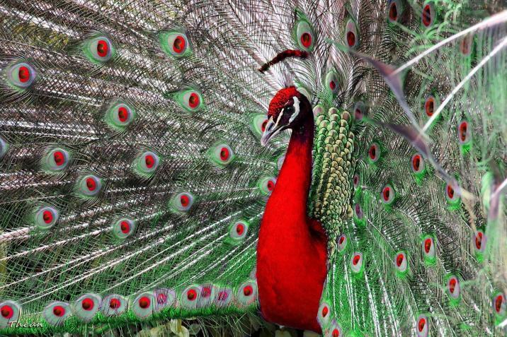 red-peacock-shortstoriescoin-image