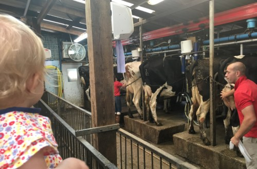 Readaraptor-Hatchling-learningwords-cows-at-the-farm