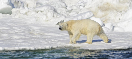 Polar bear. (photo: Brian Battaile/U.S. Geological Survey/AP)