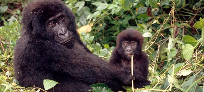 The Congo Basin's rivers, forests, savannas and swamps teem with life. Many endangered species, including forest elephants, chimpanzees, bonobos and lowland and mountain gorillas live in the Congo Basin. (photo: WWF)