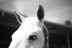 Eye and ear view of white horse.