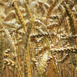 Close-up of Wheat Grains in the field, like those passed on Dickinson's strange carriage ride with Death