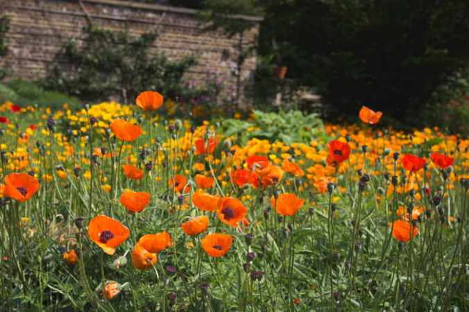 This Garden of Poppies could have been in Dickinson's back yard--humble starting place for her intellectual leaps.