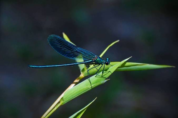 Brilliant blue dragonfly perched on a green blade flashes iridescent colors.