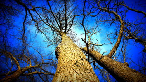 Photo of tall bare tree, looking up from base of trunk toward intensely blue sky.