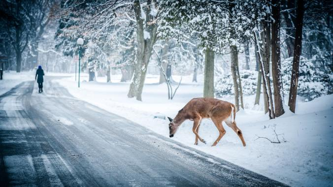 Winter scene: snow on a road through a forest, man walking away, deer in foreground.