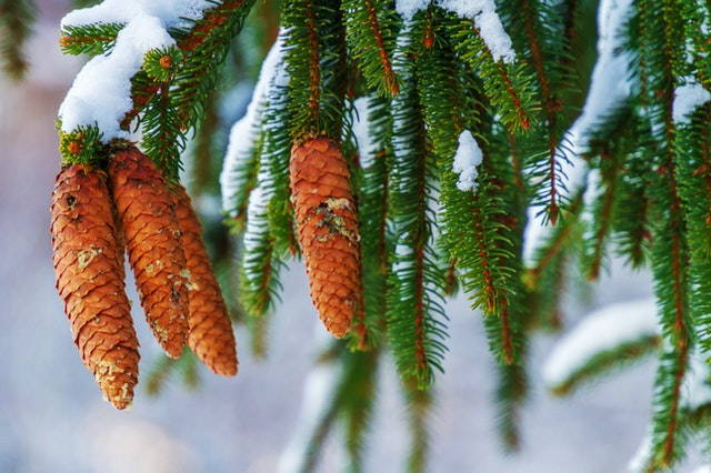Pine branch with hanging cones.