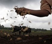 MDG : Seed : Plowing a field and sowing seeds in Ethiopia
