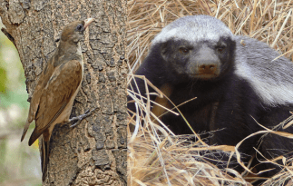 Honeyguide-and-honey-badger-1024x650