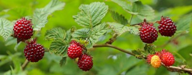 Red+Salmonberries