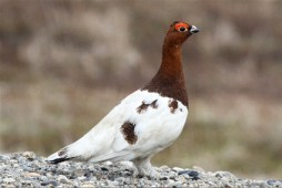 Willow_Ptarmigan_Nome_AK_0613_KZimmer_r