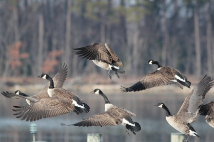 canada-goose-flying