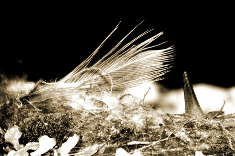 rufous nest feather light sepia