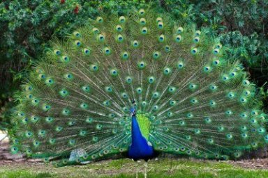 peacock-with-fully-fanned-tail