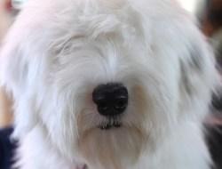 В Нью-Йорке проходит самая престижная в США выставка собак Westminster Kennel Club 2019, уже в 143-й раз. Можно сказать, это собачий аналог нашего конкурса красоты. Двухдневный конкурс, в котором принимали участие более 2 800 собак из 200 пород, проходил в спортивно-развлекательном комплексе Мэдисон Сквер Гарден на Манхэттене.