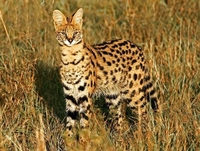 leptailurus-serval