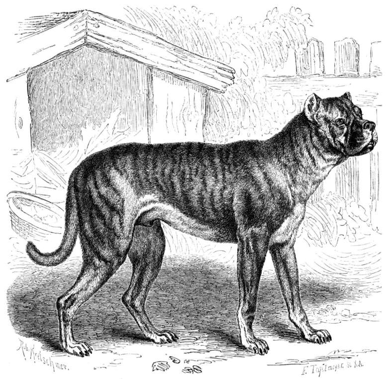 extinct-breed-dogs-04