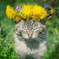Самые сильные кошачьи эйфоретики