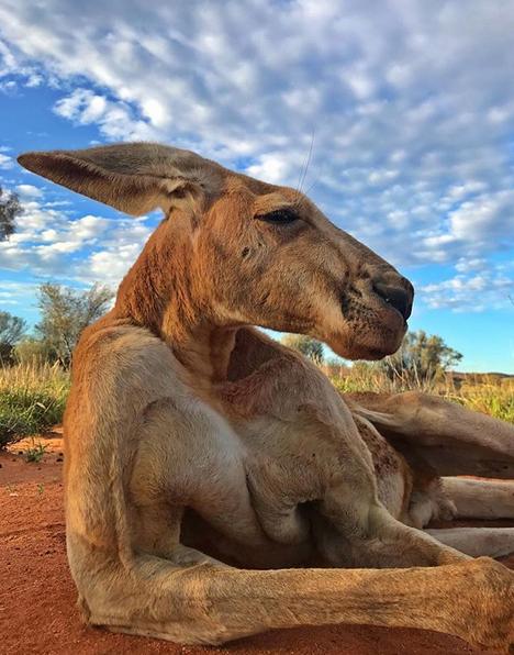 В Австралии умер мускулистый кенгуру Роджер, ставший мемом