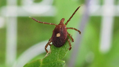 A Questing Lone Star Tick