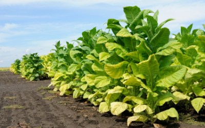 It Ain't Just For Smoking: Known But Beneficial Uses For Tobacco