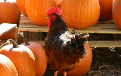 How To Make Pumpkin Seed Treats for Chickens