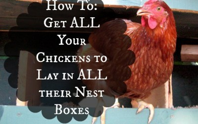 How To Get All Your Chickens To Lay In All Their Nest Boxes