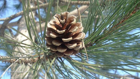 Pinecone-Tree-Forest