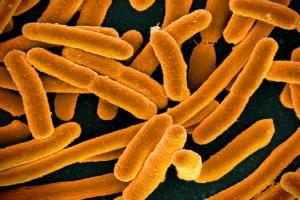 e coli wikimedia
