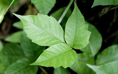 5 Natural Remedies to Soothe Poison Ivy Rashes