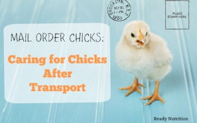 Mail Order Chicks: Caring for Chicks After Transport