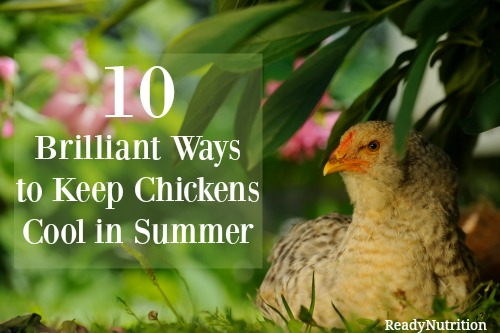 10 Brilliant Ways to Keep Chickens Cool in Summer