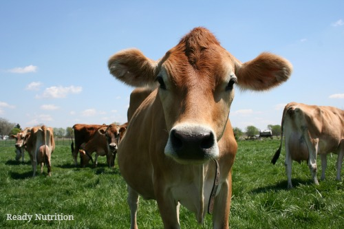 What Miniature Cows Mean for Your Homestead