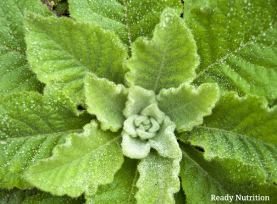The Healing Properties of Mullein – Especially During the Cold and Flu Season