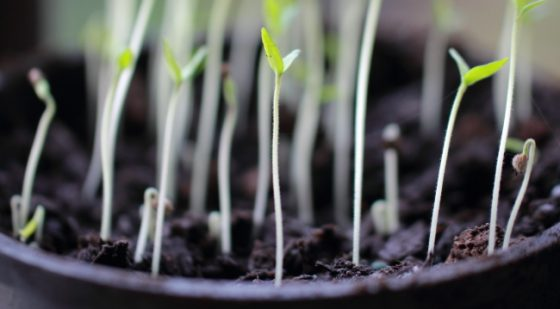 Why Seedlings Get Leggy And How To Fix It