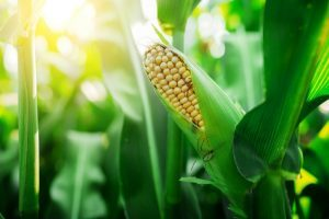 Seed to Plate: Growing Tips for Juicy Corn
