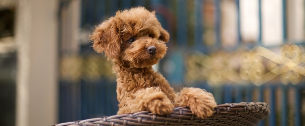 I Just Brought Home a new Poodle – What Now?