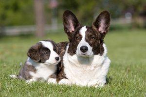 Welsh corgi dam and pup