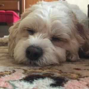 Cockapoo on carpet