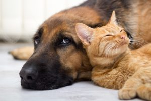 Cat and German Shepherd