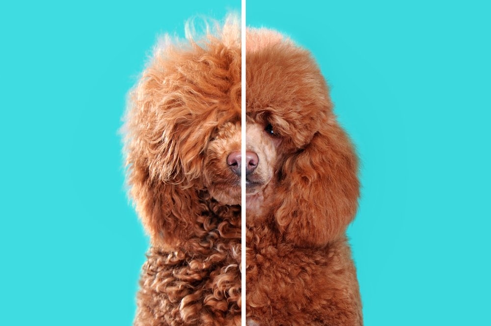 Grooming a Poodle: Best Practices and Expert Tips