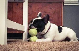 French bulldog playing ball