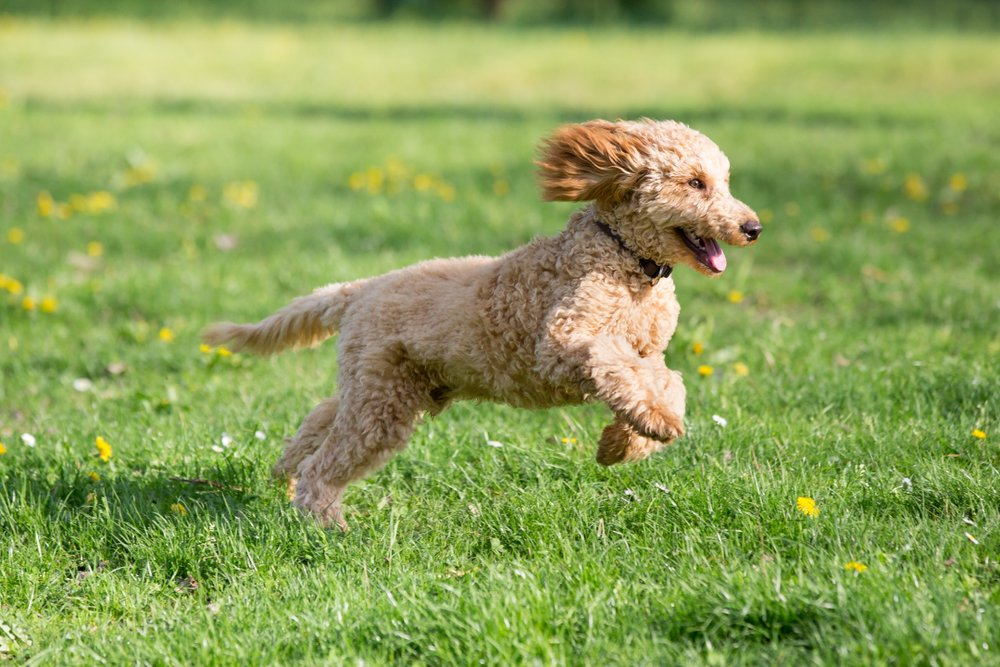 How to Fulfill Your Poodles Physical and Mental Exercise Needs
